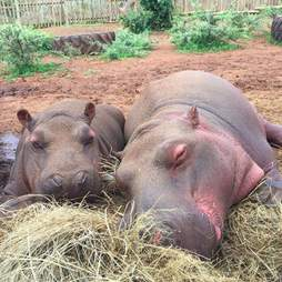 Rescued hippos cuddling together