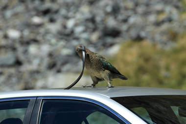 Wild kea parrot in New Zealand
