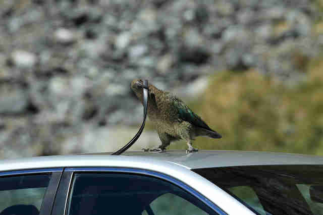Wild kea parrot in New Zealand