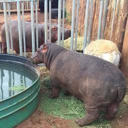 Hippos meeting each other