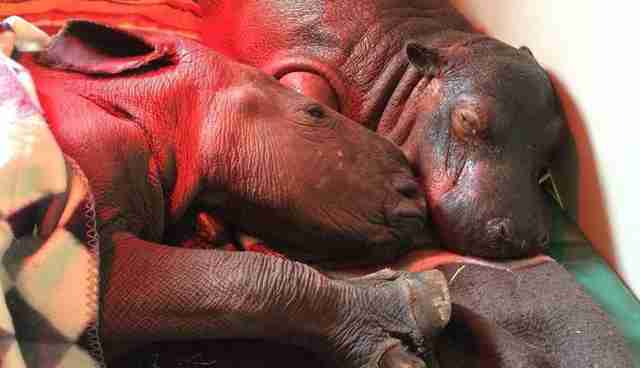 Rhino cuddling with hippo