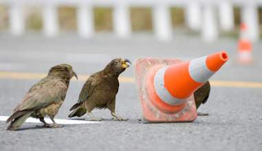 Traffic cone moving kea in New Zealand