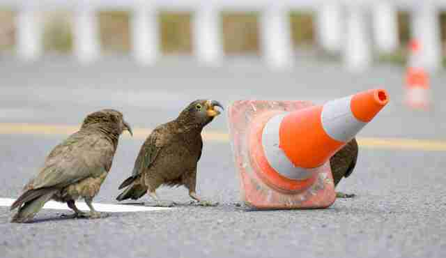Traffic cone moving kea in New Zealand