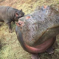 Hippos inside enclosure