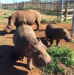 Rhino and hippos inside boma
