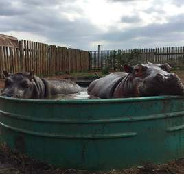 Hippos sharing pool