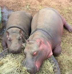 Hippos snoozing together