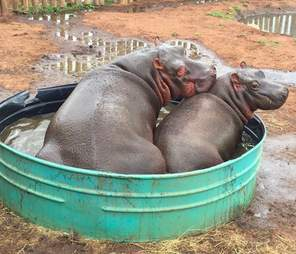 Hippos swimming together