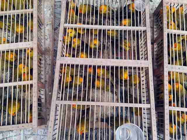 Trafficked wild birds in wooden cages