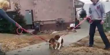 Mother and daughter beagles reuniting