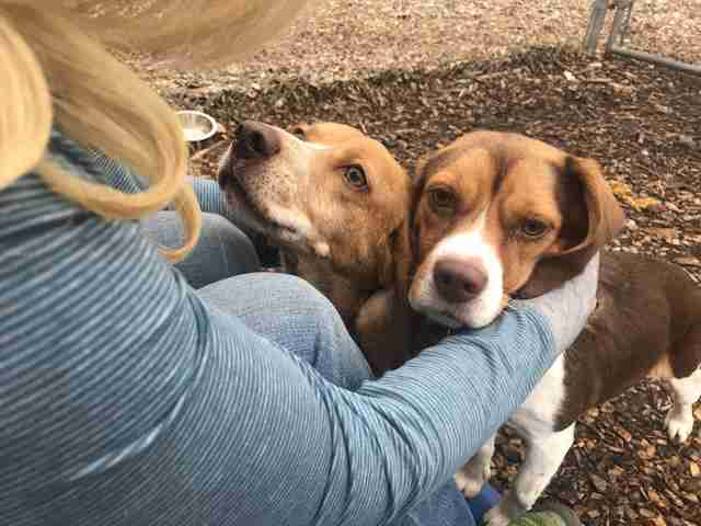 Mother and daughter beagles at New Jersey shelter