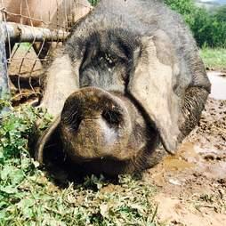 rescue pig mud pennsylvania