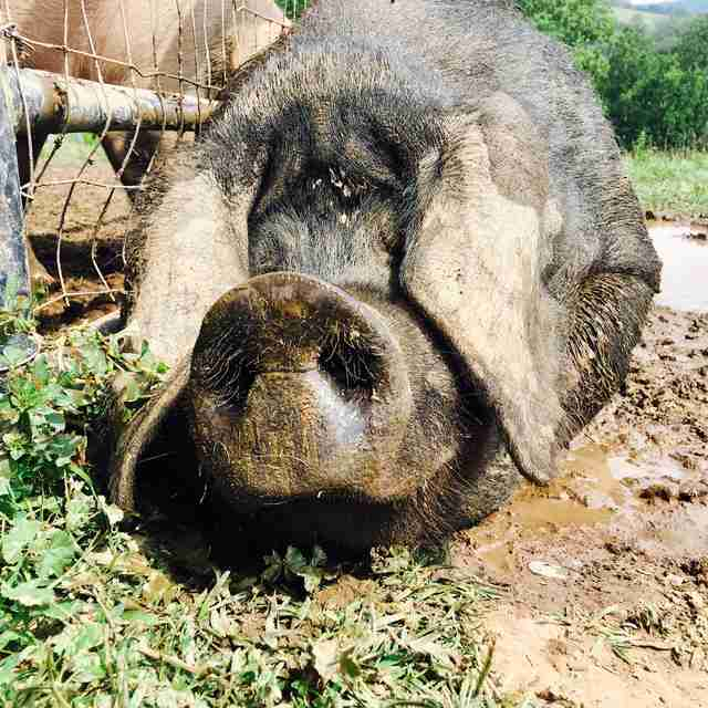 rescue pig mud pennsylvania