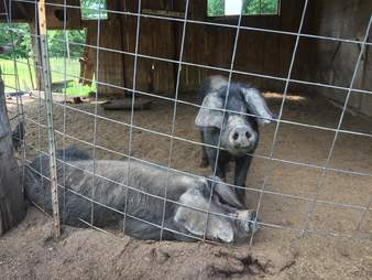 emaciated pigs rescued new york