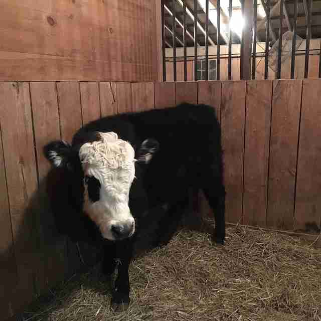Bull at sanctuary after escaping truck and living in woods
