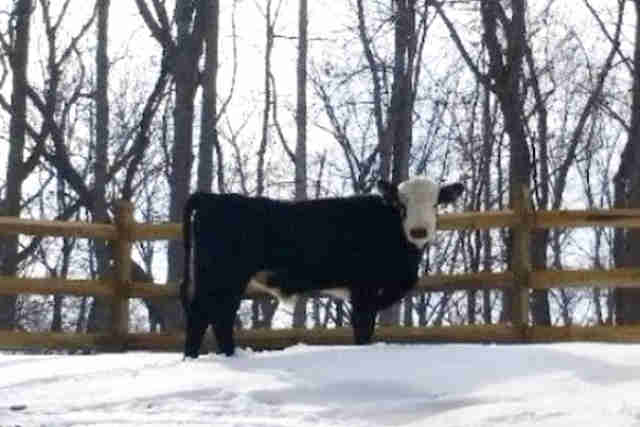 Bull who escaped transport truck in Virginia