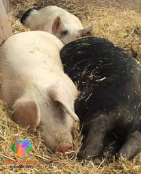 rescue pigs cuddle sanctuary