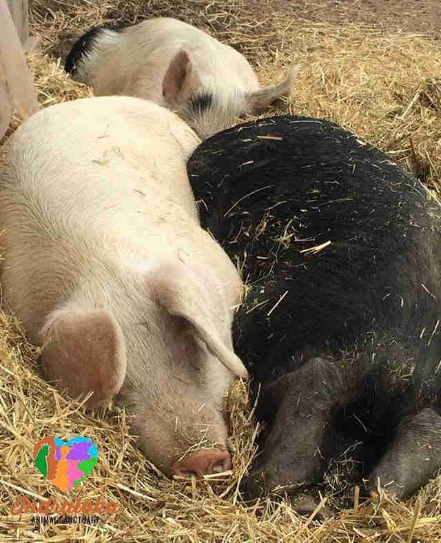 rescue pigs cuddle sanctuary