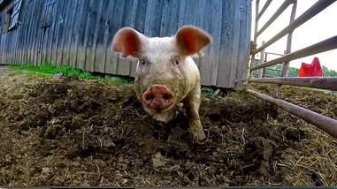 rescue piglet pennsylvania