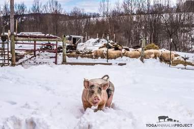 rescue pig sanctuary