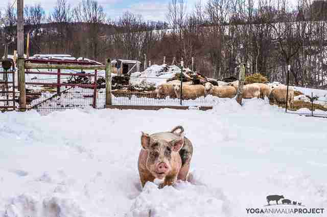 rescue pig sanctuary