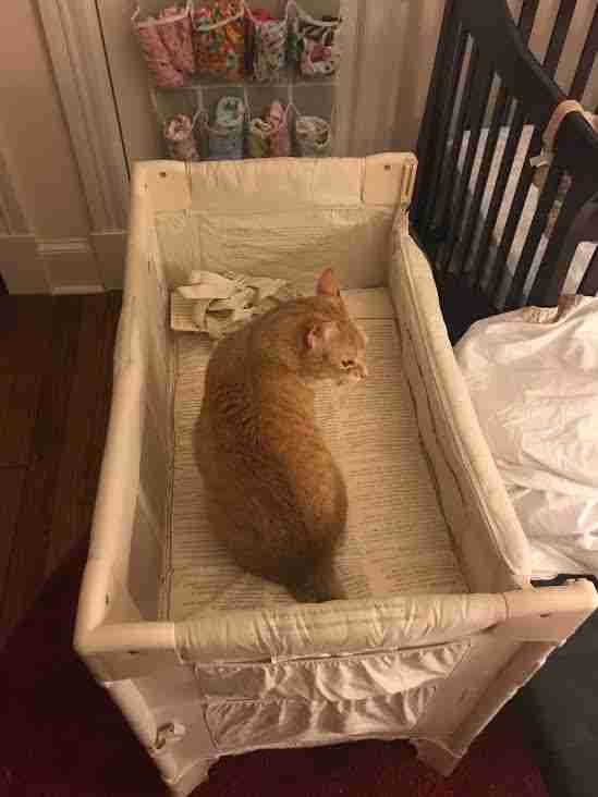 Cat inside baby cot