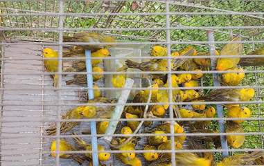 Rescued saffron finches in cage