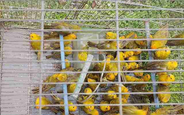 Rescued saffron finches in cage