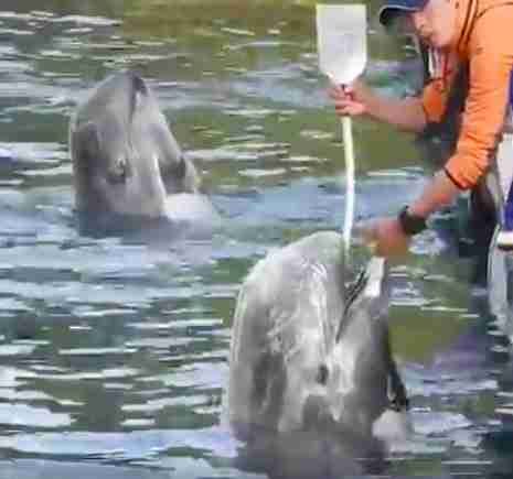 Man forcing water into dolphin's body through feeding tube