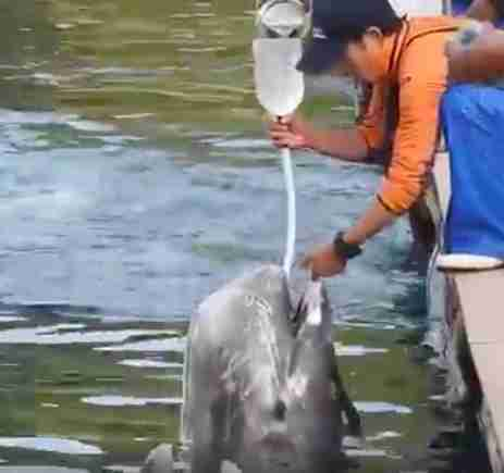 Man forcing water into a dolphin through a feeding tube
