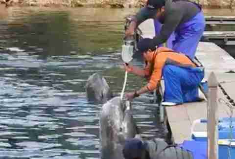 Trainers feeding captive dolphins