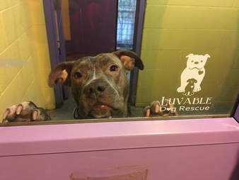 rocky pit bull luvable dog rescue