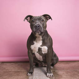 rocky pit bull rescued luvable
