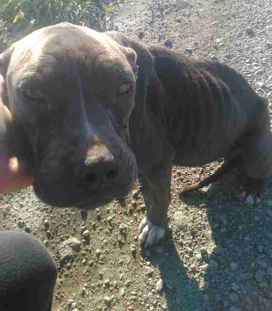 rocky pit bull rescued from desert