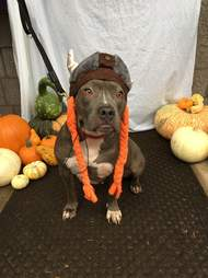 pit bull rocky rescue luvable