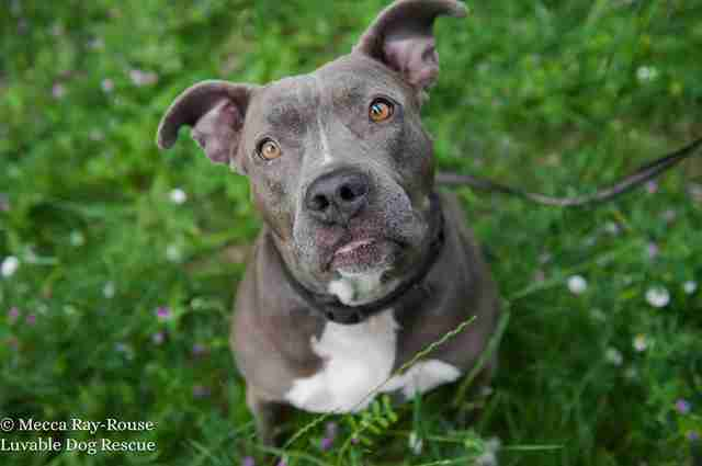 rocky pit bull luvable rescue