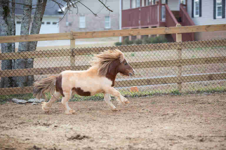 Lil' Ben the miniature horse