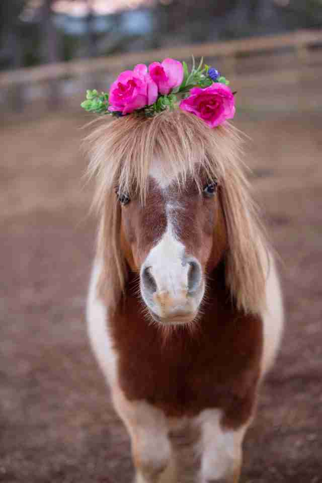 Lil' Benjamin the mini horse