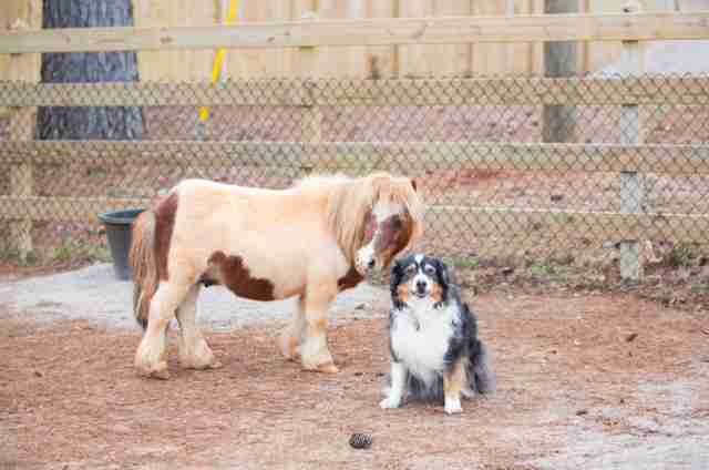 Ben the mini horse with dog