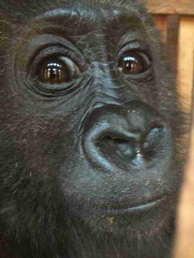 Orphaned baby gorilla rescued in Cameroon