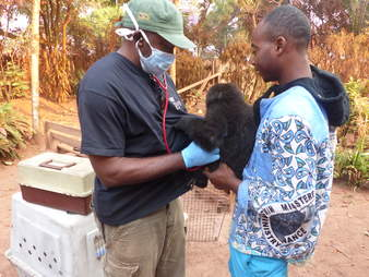 Baby gorilla orphaned by bushmeat trade saved in Cameroon