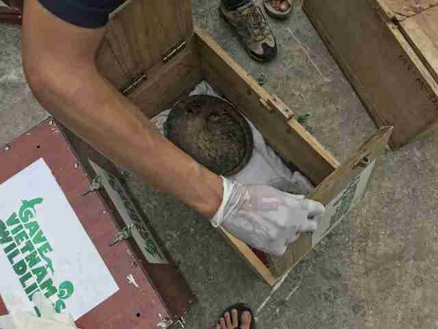 Pangolin being saved from traffickers in Vietnam