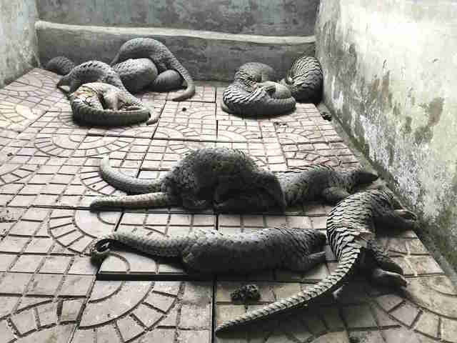Pangolins rescued from traffickers in Vietnam
