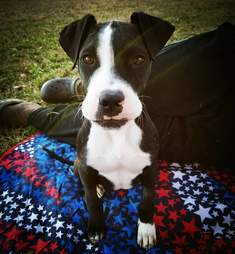 Puppy named Lincoln in foster home