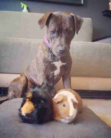 Pit bull and her guinea pig sisters