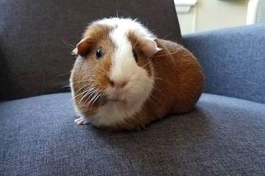 Pandora the adopted American guinea pig