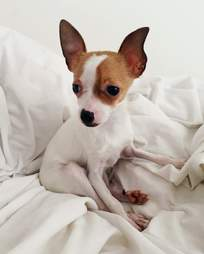 chihuahua pet store rescue puppy