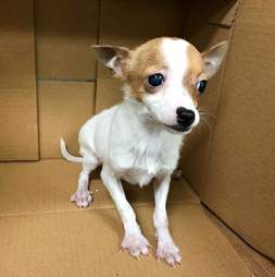 chihuahua puppy pet store new york