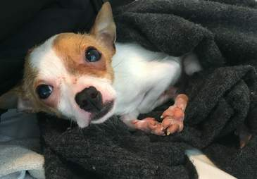chihuahua puppy pet store