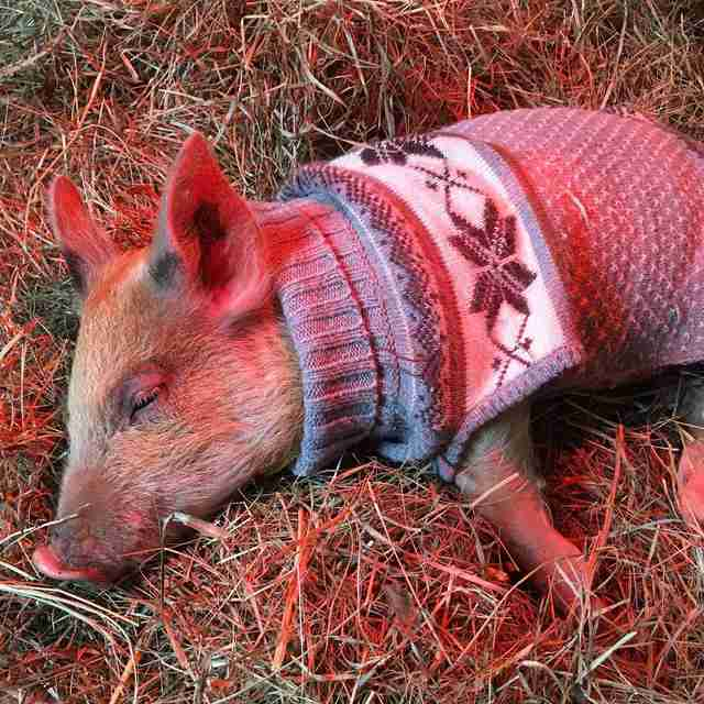 'Teacup' pig in sweater at sanctuary